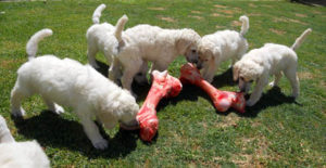 puppies_img12