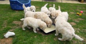 puppies_img2