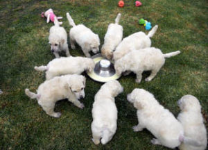 puppies_img7