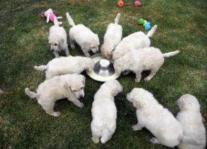 puppies_img7